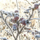 Briar Berries With Hoarfrost in Frosty Day - VideoHive Item for Sale