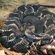 Timber Rattlesnake - PhotoDune Item for Sale