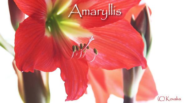 Amaryllis Flower 9