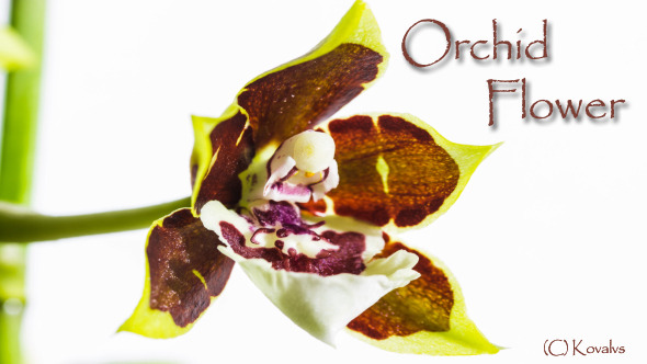 Opening Orchid Flower 2