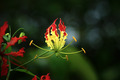 Fire lily, gloriosa lily - PhotoDune Item for Sale