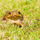 Big brown frog - PhotoDune Item for Sale