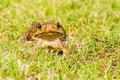 Big brown frog - PhotoDune Item for Sale