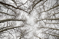 Bare Aspen Branches - PhotoDune Item for Sale