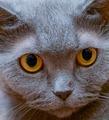 The British cat - PhotoDune Item for Sale