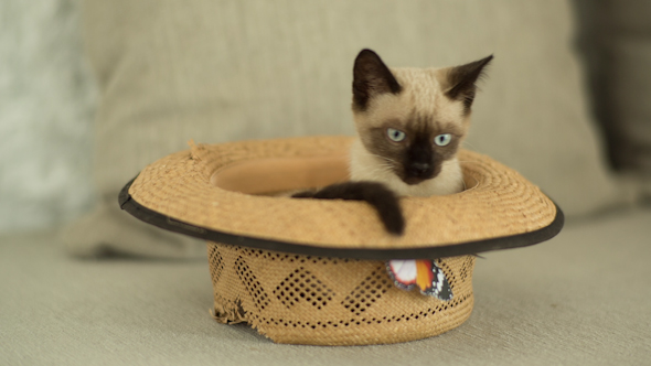 Siamese Cat Plays Inside A Hat 1