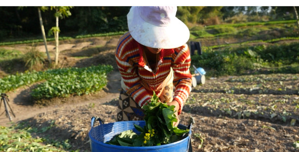 Female Harvesting Vegetable