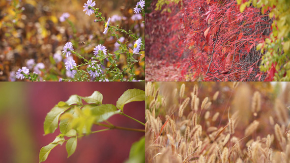 Colorful Autumn and Virginia Creeper
