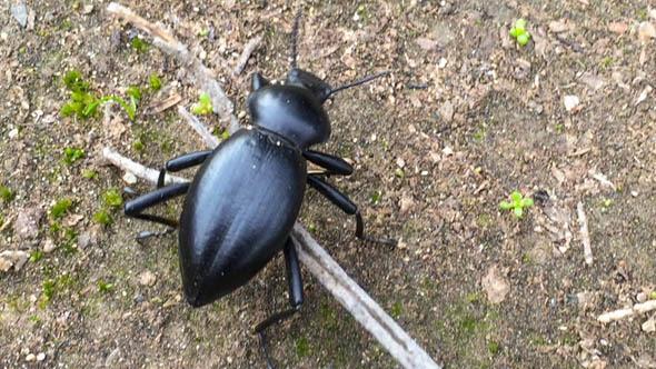 Stink Beetle