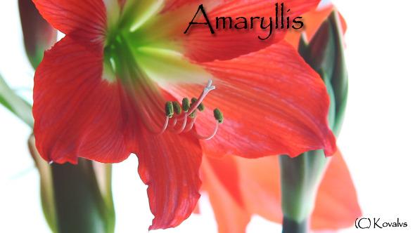 Amaryllis Flower 10