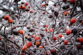 Bush Berries Of Wild Rose In Ice - PhotoDune Item for Sale