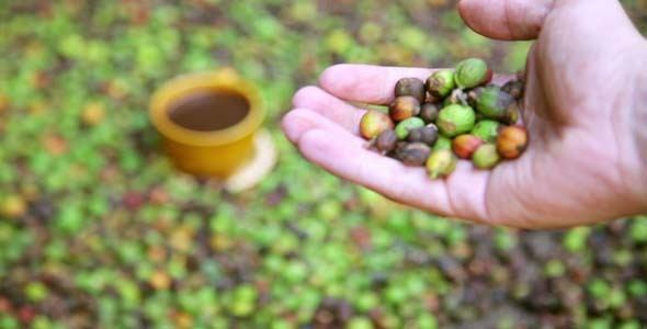 Farmer Showing Coffee Beans By Hand