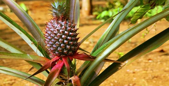 Pineapple Fruit Plantation Laos 1