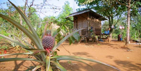 Pineapple Fruit Plantation Laos 4