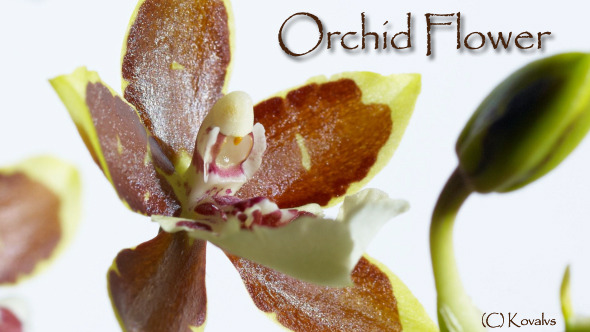 Opening Orchid Flower 3