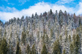 Carpathian Tree Forest Covered With Winter Snow - PhotoDune Item for Sale