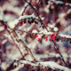 red berries covered with snow at winter - PhotoDune Item for Sale