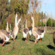Geese - VideoHive Item for Sale