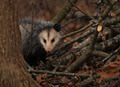 Opossum On A Winter Day - PhotoDune Item for Sale