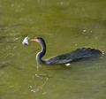 Anhinga Feeding - PhotoDune Item for Sale