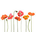Red Poppy Flowers - PhotoDune Item for Sale