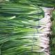 Green onions - PhotoDune Item for Sale