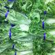 Romaine lettuce - PhotoDune Item for Sale
