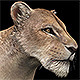 Lioness - 3DOcean Item for Sale