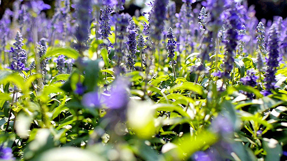 Blue Salvia Flower 02