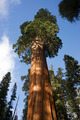 Giant Ancient Seqouia Tree Kings Canyon National Park - PhotoDune Item for Sale