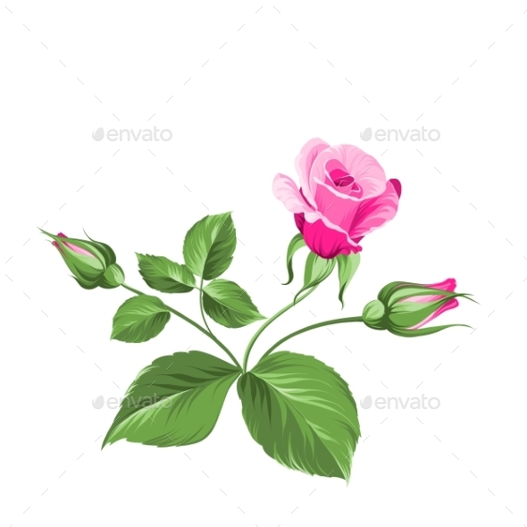 GraphicRiver Pink Rose 9954811