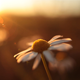 Daisy in the Sunset - VideoHive Item for Sale