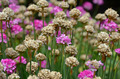 Pink and brown ameria garden - PhotoDune Item for Sale