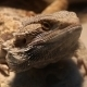 Agama Lizards - VideoHive Item for Sale