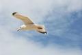 flying gull  (Larus argentat) - PhotoDune Item for Sale
