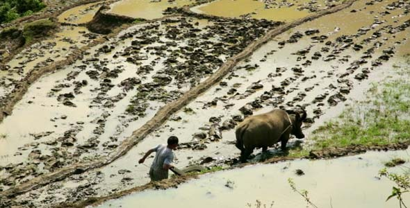 Farming Plowing Ox No Tractor Farm Vietnam 3