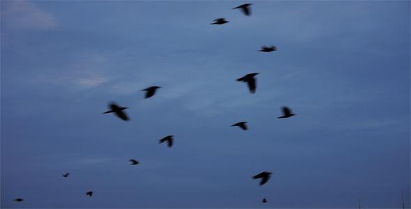 Black Crows In Flight