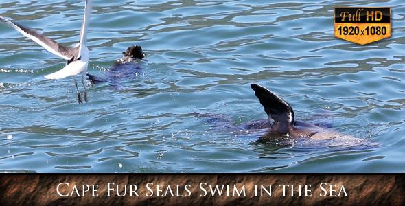 Cape Fur Seal Swim in the Sea