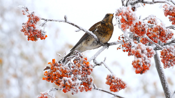 Thrush Eating Rowan Berry