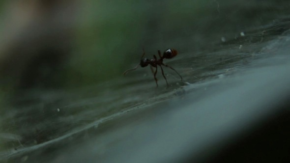Ant Entangled in a Web