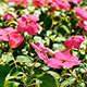 Petunia Flower 01 - VideoHive Item for Sale