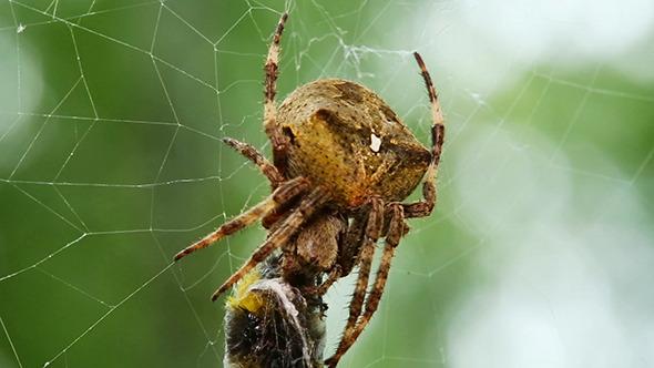 Spider Eats