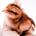Cute little chicken in the hand isolated on white - PhotoDune Item for Sale