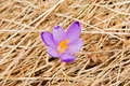 Lonely crocus on a wet spring meadow - PhotoDune Item for Sale
