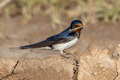 barn swallow - PhotoDune Item for Sale