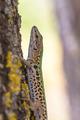 Italian Wall Lizard (Podarci siculus) Climbing a tree - PhotoDune Item for Sale