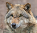 Close up of a Dangerous Grey Wolf - PhotoDune Item for Sale