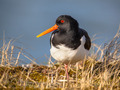 Eurasian oystercatcher also known as the common pied oystercatch - PhotoDune Item for Sale