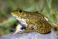 South European Levantine water frog - PhotoDune Item for Sale