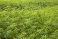 Marihuana plantation Background - PhotoDune Item for Sale